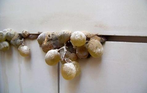 <p>Simon Feydieu, <strong><em>Bassanoïa</em></strong> (détail), 2010, carreaux plâtre, raisins blancs, figues, citrons verts, 250x660x5cm. Photo : JAC / Néon.</p>
