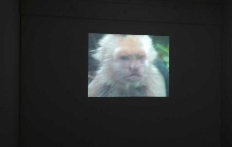 <p>Quentin Maussang, <strong><em>Le singe</em></strong>, 2012, vidéo en boucle, 51 secondes. Vue de l'exposition <em>Ah, ah, ah, animal</em>, Néon, Lyon, 2012. Photo : Maxime Rizard / Néon.</p>